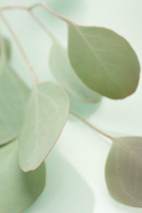 Cineole, extracted from eucalyptus, provides sinus relief