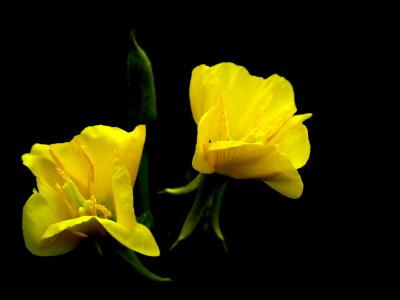 Image result for evening primrose at night