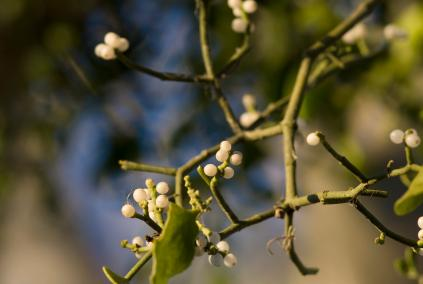 Mistletoe has a long history in myth and legend.