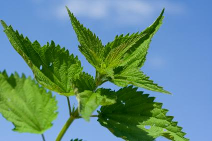 Nettles are one of many herbs for arthritis