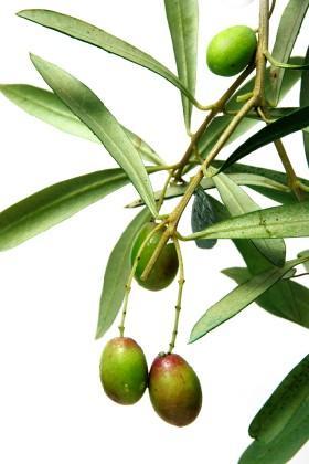 Olive Leaf Health Benefits