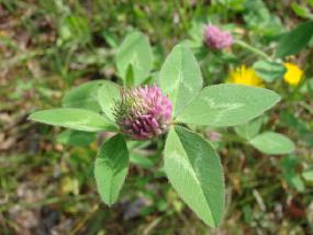 Red clover treats menopause symptoms.