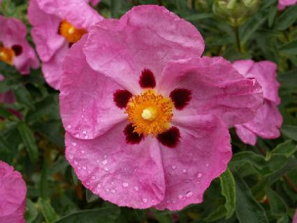 Rock rose is a Bach remedy said to impart courage