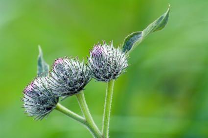 Burdock seed head