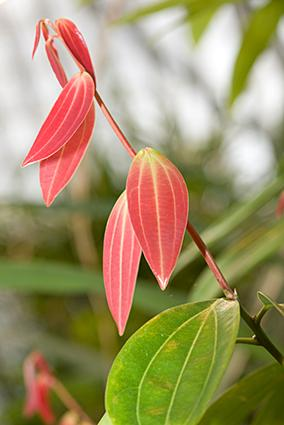 Leaves on a cinnamon tree