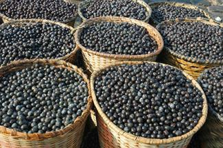 Acai berry harvest