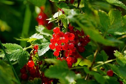 close up red currants on branch