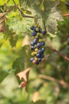 River bank wild grape Vitis reparia