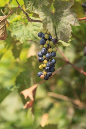 River bank wild grape Vitis reparia