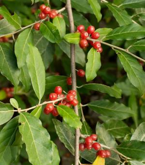 Autumn Olive Berry