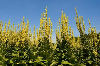 field of mullein flowers