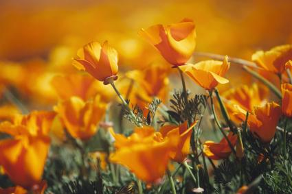 Vivid orange California poppy