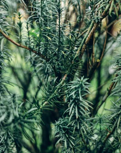 Pine scented rosemary