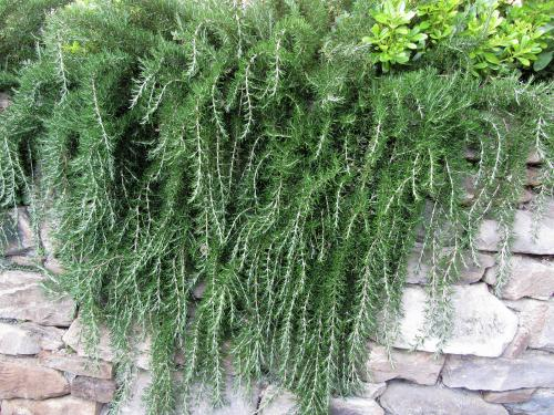 Trailing rosemary plant cascading down