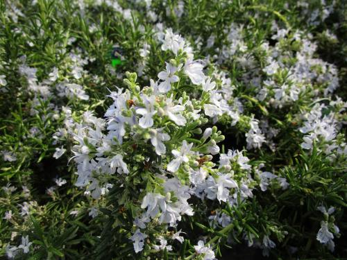 Huntington Carpet Rosemary herb flowers