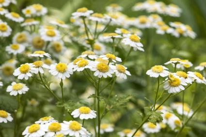 Feverfew Wildflowers