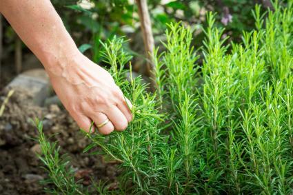 Hand Harvesting Rosemary
