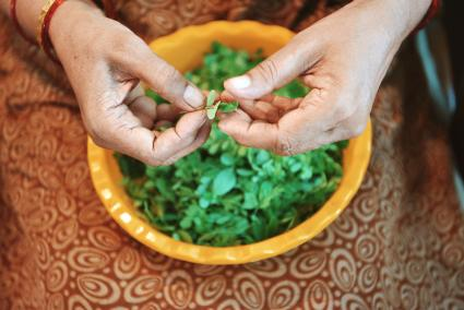 Indian seniors woman cleaning Fenugreek