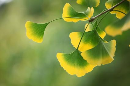 Gingko leaves at the tree
