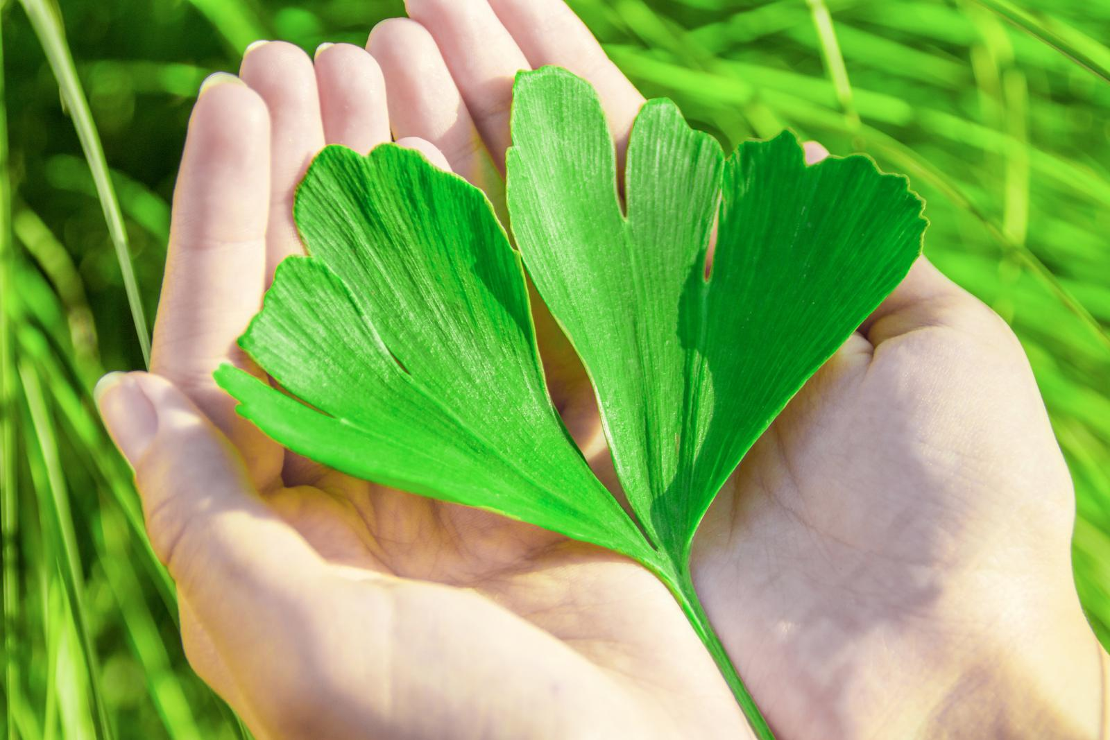 The healing leaf of ginkgo biloba or ginko in the hands of young women
