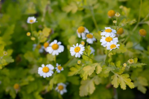 Closeup of blooming feverfew plants