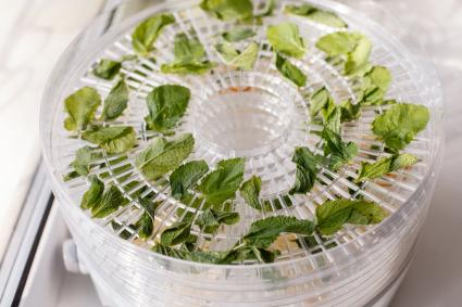 Fresh mint is dried on food dehydrator tray