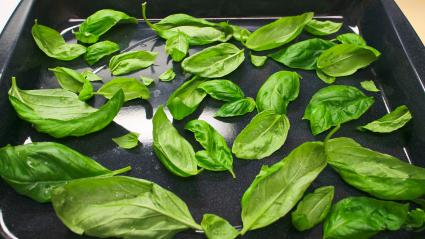 Drying Basil in oven