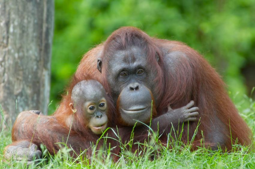 https://cf.ltkcdn.net/home-school/images/slide/74965-850x563-Orangutan.jpg