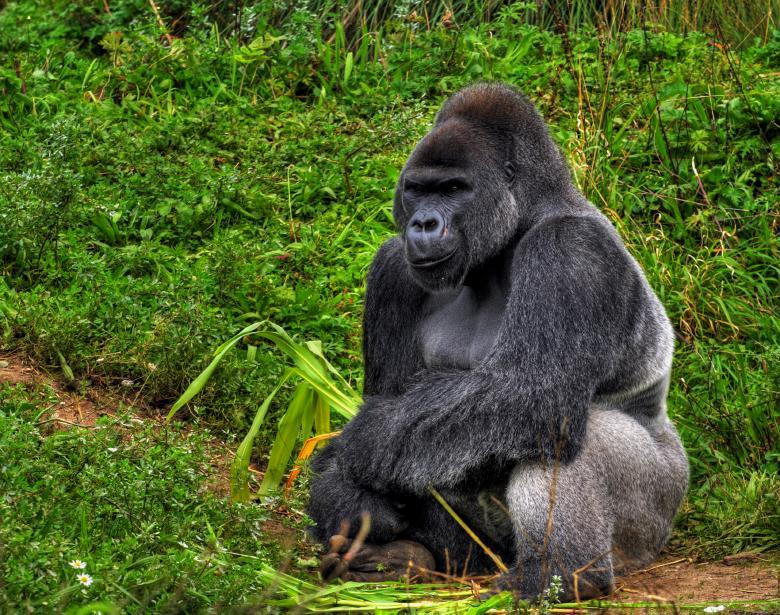 https://cf.ltkcdn.net/home-school/images/slide/74966-780x615-Gorilla.jpg