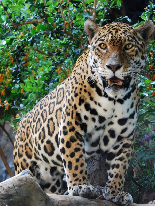 https://cf.ltkcdn.net/home-school/images/slide/74969-600x800-Jaguar.jpg