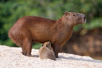 Baby capybara with mother in Brazil