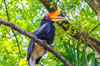 Rhinoceros Hornbill sitting in tree