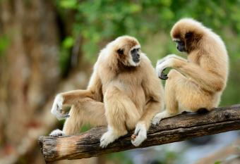 White-handed Gibbons sitting on branch