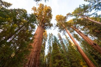 Giant sequoia trees, Sequoia National Park