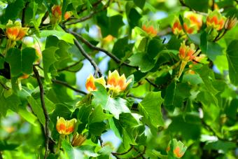 Tulip tree or poplar tree