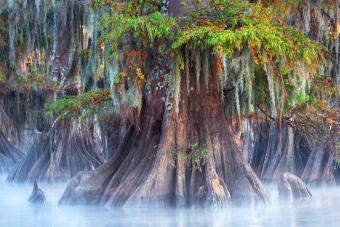 A large bald cypress tree