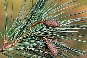 Michigan eastern white pine