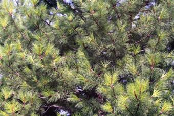 Ponderosa Pine The Montana State Tree