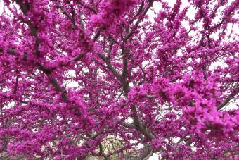 Blooming Redbud Tree in Oklahoma