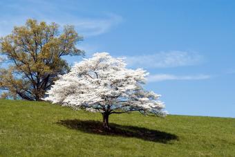 Dogwood Tree in full bloom
