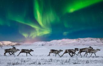 Wild reindeer on the tundra
