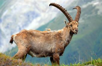 Ibex Standing On Field