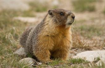 marmot eating grass