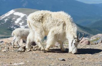 Wild Mountain Goats