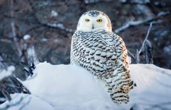 Portrait of snowy owl