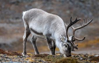 reindeer grazing in the Tundra