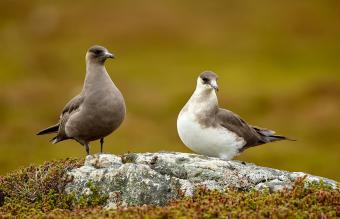 Couple of Parasitic Jaeger