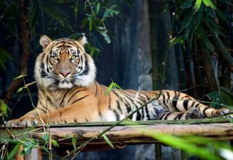https://cf.ltkcdn.net/home-school/images/slide/74968-836x574-Tiger.jpg