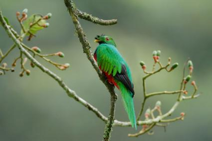 Crested Quetzal bird on branch