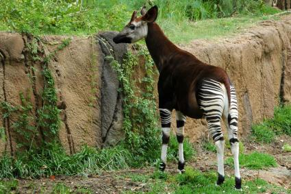 Okapi stands grazing at rock wall